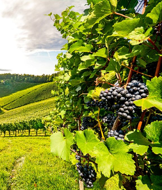 Bunches of grapes on vine in sunny vineyard
